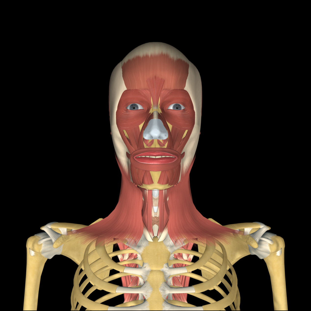 anatomyEXPERT - Fascia of the head and neck - Structure Detail