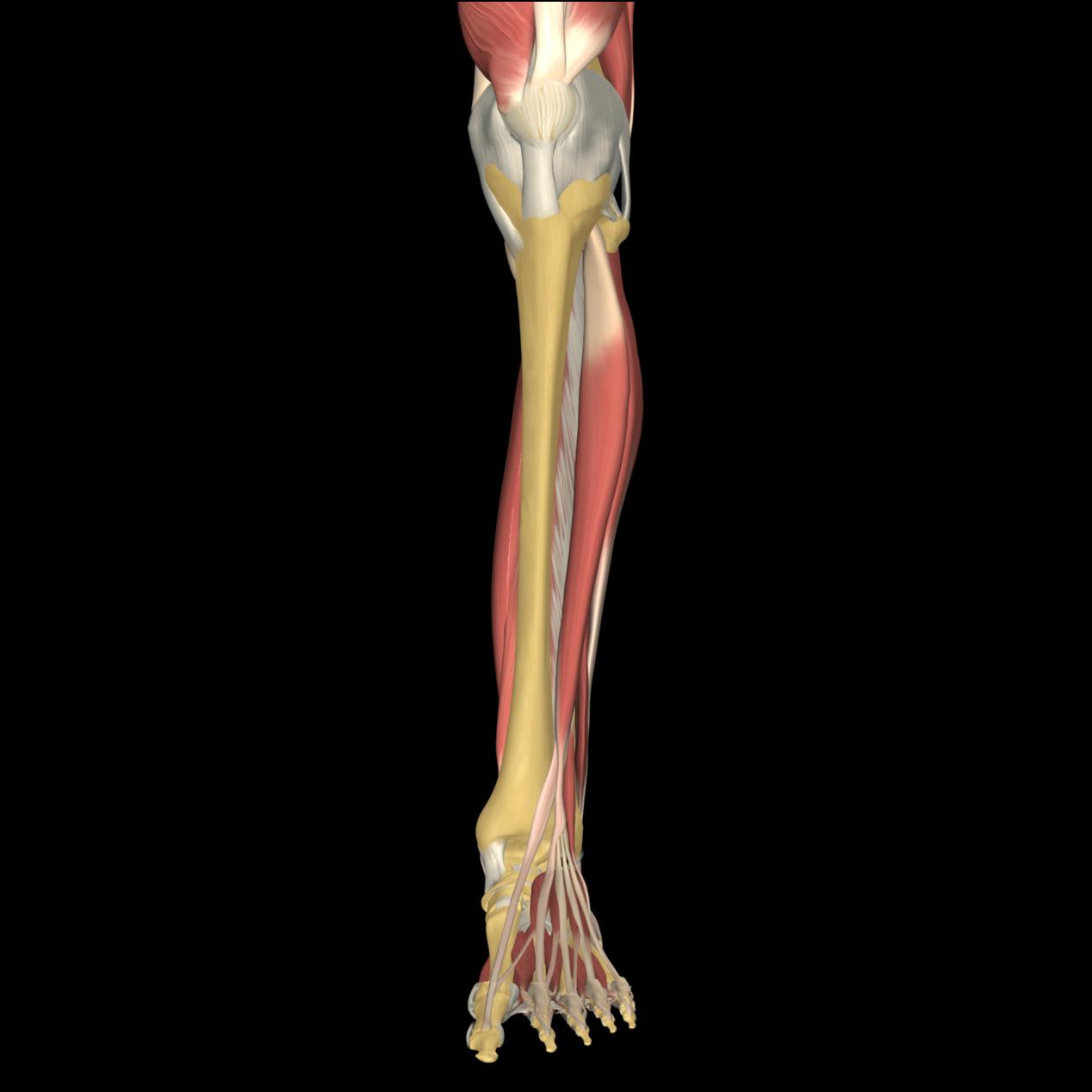 Anatomyexpert Extensor Digitorum Longus Structure Detail