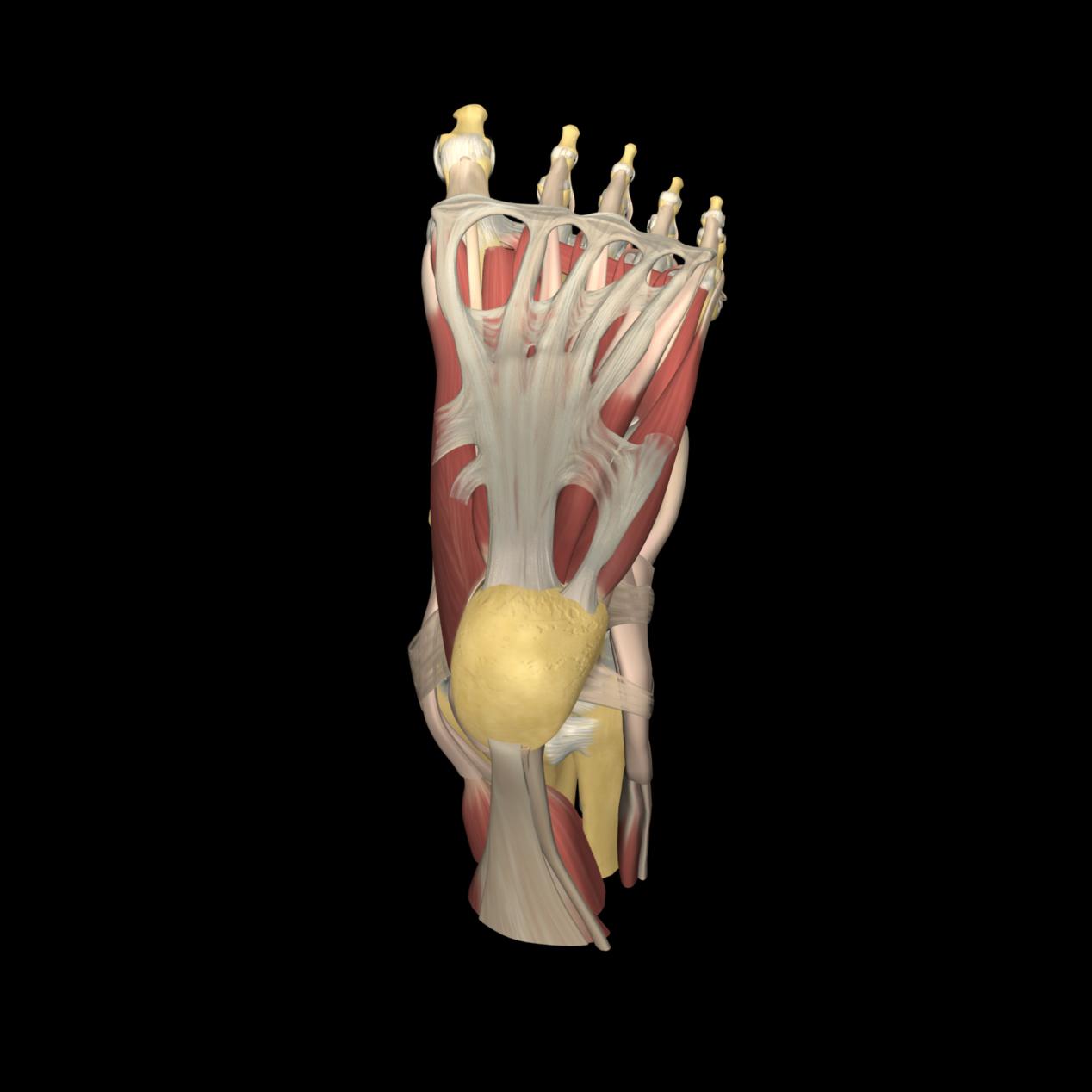 anatomyEXPERT - Gastrocnemius - Structure Detail
