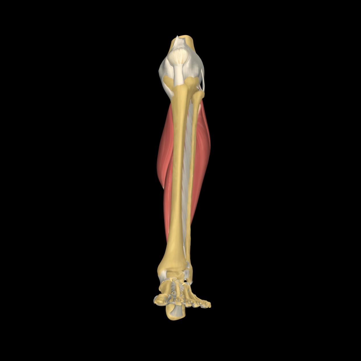 anatomyEXPERT - Plantar calcaneocuboid ligament - Structure Detail