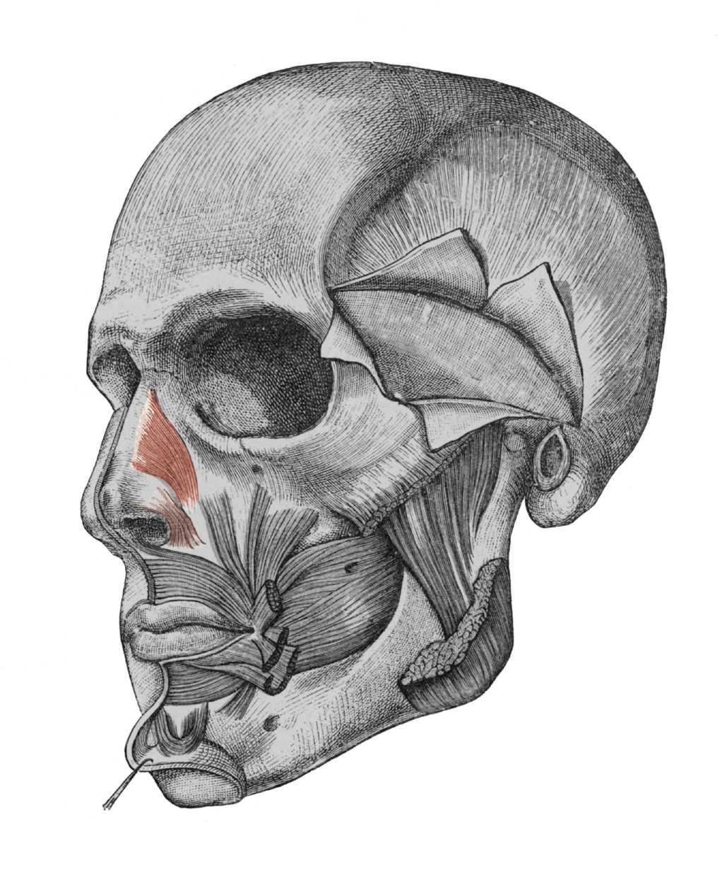 musculus nasalis ile ilgili görsel sonucu